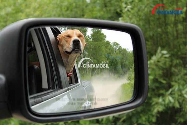 gambar seekor anjing yang menjulurkan kepala keluar jendela mobil yang sedang melaju