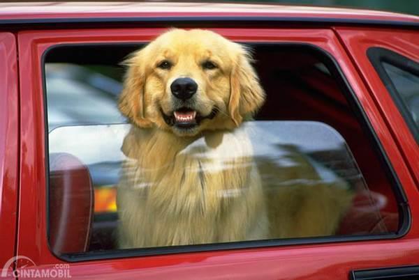 anjing di jendela mobil