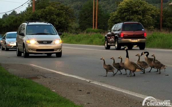 hewan yang melintas di jalan