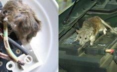Tikus Masuk Ruang Mesin Mobil, Inilah Cara Mengatasinya