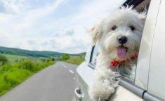 Perhatikan Hal Ini Ketika Membawa Anjing di Mobil