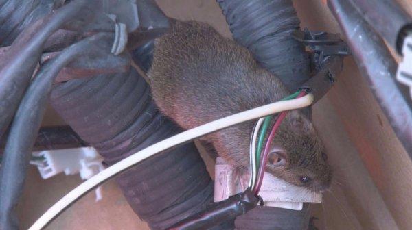 Gambar menunjukan tikus