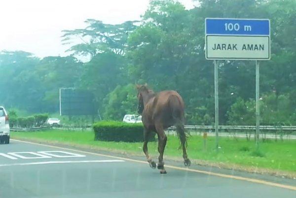 Foto menunjukkan Seekor kuda terlepas di jalan tol